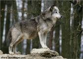 c20_631504_wolf_fb.jpg