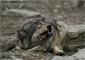 c20_631598_wolf_fb.jpg