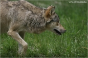 c21_727671_wolf_fb.jpg