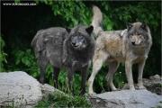 m3_923836_wolf_fb.jpg