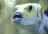 c20_550990_zitronenkugelfisch_fb.jpg