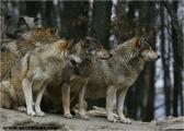 c20_631369_wolf_fb.jpg