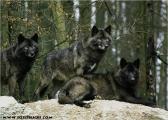 c20_631421_wolf_fb.jpg