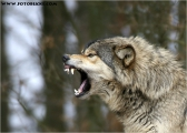 c20_631437_wolf_fb.jpg