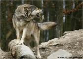 c20_631445_wolf_fb.jpg
