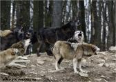 c20_631481_wolf_fb.jpg