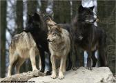 c20_631526_wolf_fb.jpg
