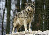 c20_631529_wolf_fb.jpg