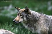 c21_727707_wolf_fb.jpg