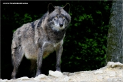 m3_923889_wolf_fb.jpg