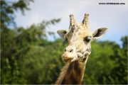 m3_927535_giraffe_fb.jpg