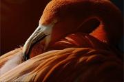 c20_517842_flamingo_fc.jpg