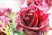 c21_745780_rose_fb.jpg