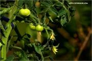 m3_123284_tomate_fb