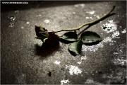 m3_829400_rose_fb.jpg