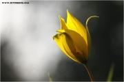 c20_640359_tulpe_fb.jpg