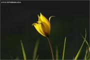 c20_640364_tulpe_fb.jpg