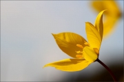 d100_168099_tulpe_fb