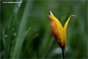 m3_136937_tulpe_fb.jpg