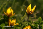 20d_060345_wilde-tulpe_fb