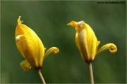 c20_640681_tulpe_fb.jpg