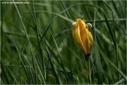 c20_640707_tulpe_fb.jpg