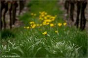 m3_085979_wilde-tulpe_fb.jpg