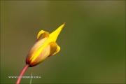 m3_087729_wilde-tulpe_fb