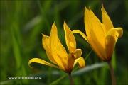 m3_088479_wilde-tulpe_fb