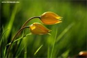 m3_108986_tulpe_fb.jpg