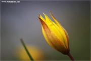 m3_815900_tulpe_fb.jpg