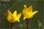 m3_816118_tulpe_fb.jpg