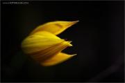 m3_895866_tulpe_fb.jpg