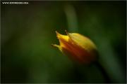 m3_920053_tulpe_fb.jpg