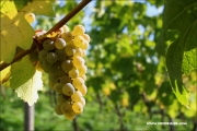d100_151068_riesling_fb