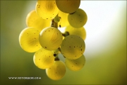 d100_164192_riesling_fb