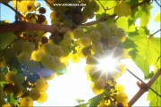 d100_151042_riesling_fb