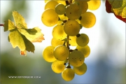 d100_164182_riesling_fb